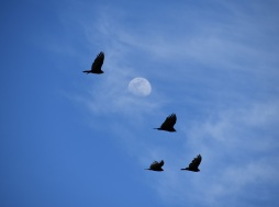 Vultures and Moon